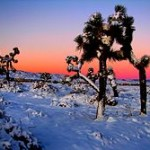 220px-Joshua_Trees_in_Snow